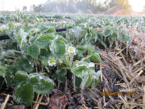 2015 May 23 frost 050